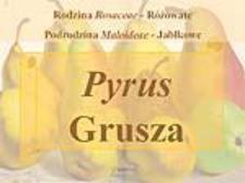 Pyrus Grusza